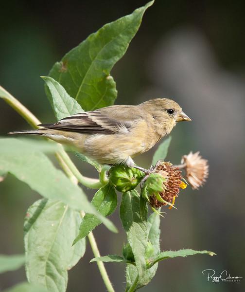 Lesser Godfinch--Female