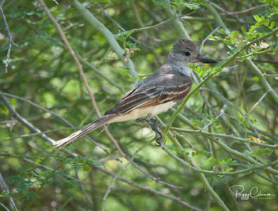Flycatcher- Brown-crested or Ash-throated