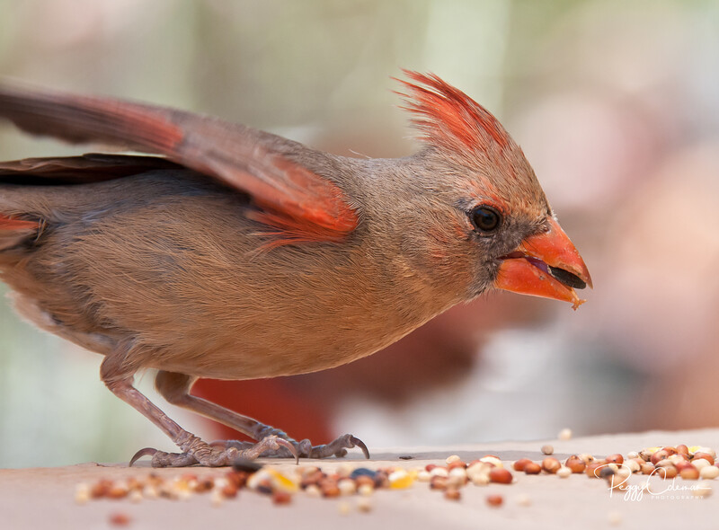 Northern Cardinal--Female