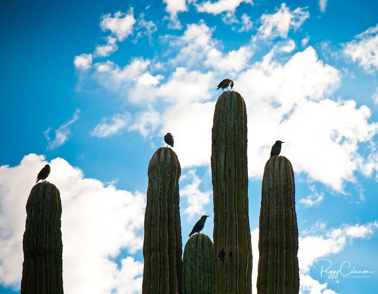 The morning crew --European Starlings