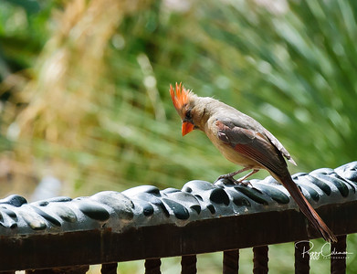 Northern Cardinal--Female, surveys her world