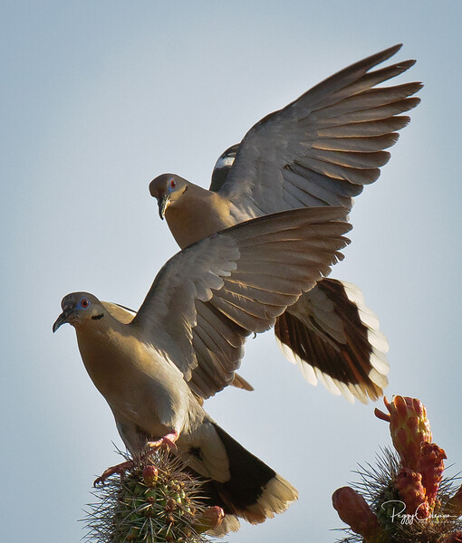 White-winged Doves vy for King of the Cactus!