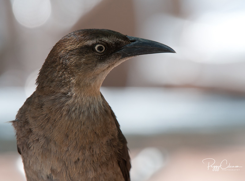 Grackle--Female