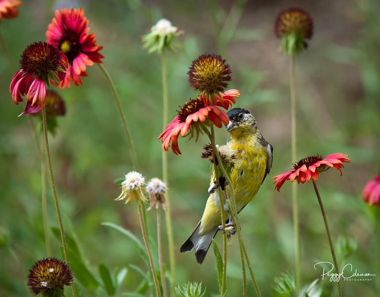 Lesser Goldfinch--Male