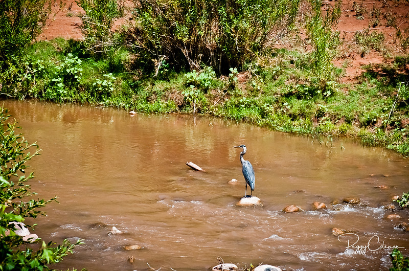 Great Blue Heron and one muddy river!