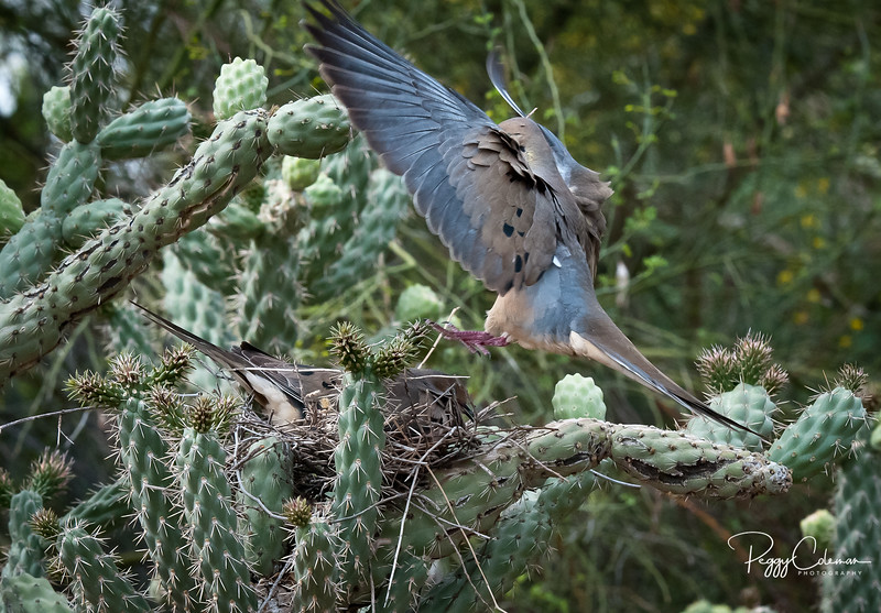 Nest-tending With Mourning Doves