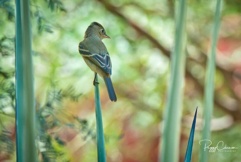 Pacific Slope or Cordilleran Flycatcher