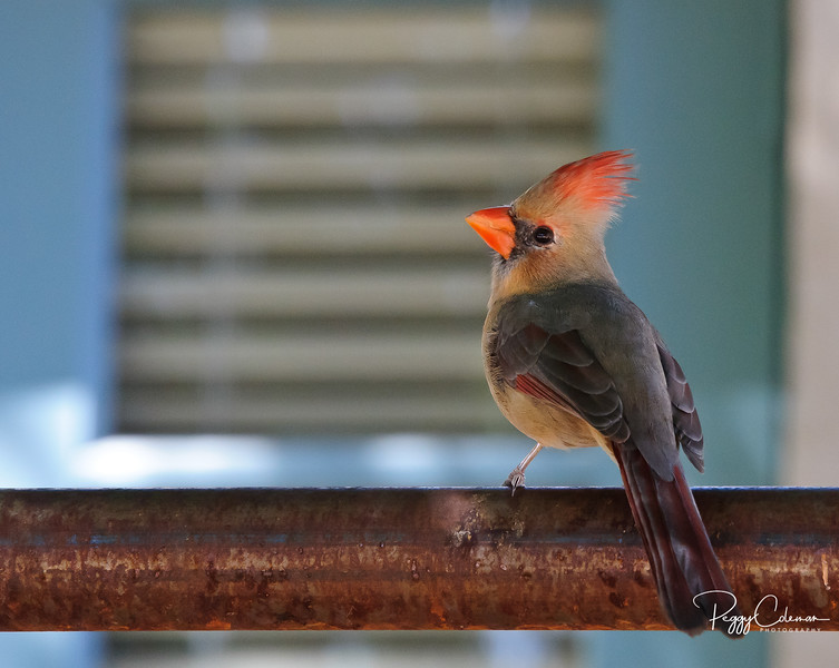 Norther Cardinal--Female