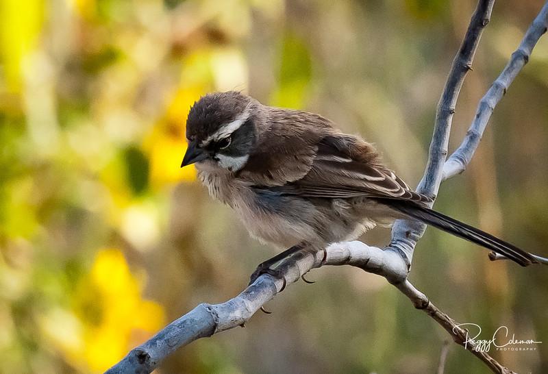 Black-throated Sparrow, juvenile