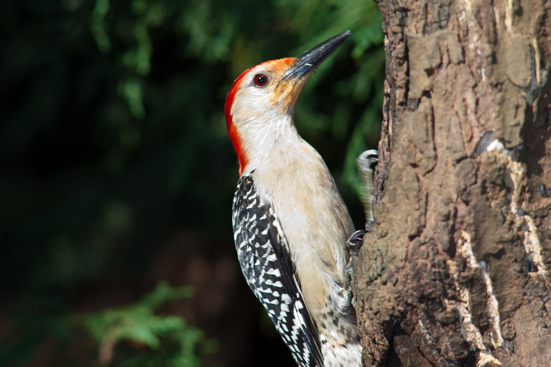 Red-bellied Woodpecker, Melanerpes carolinus, at McLeansvillle, NC.