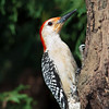 Red-bellied Woodpecker, Melanerpes carolinus, at McLeansvillle, NC.