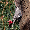 Tufted Titmouse, Baeolophus bicolor, in backyard at McLeansville, NC.