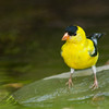 American Goldfinch, Spinus tristis, in backyard at McLeansville, NC.