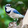 Blue Jay, Cyanocitta cristata, in backyard at McLeansville, NC.