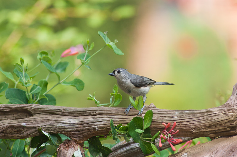 Tufted Titmouse, Baeolophus bicolor, in McLeansville, North Carolina, in June.