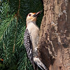 Red-bellied Woodpecker, Melanerpes carolinus, in backyard at McLeansville, NC.