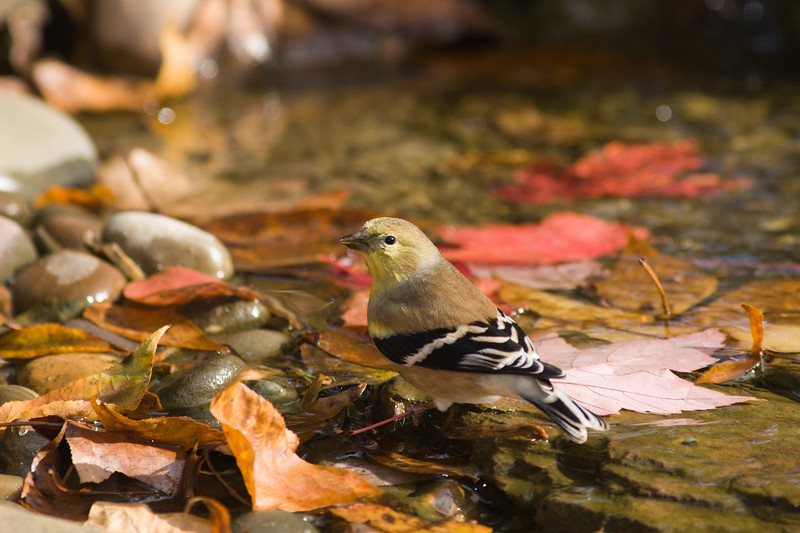 American Goldfinch, Spinus tristis, in North Carolina in November.