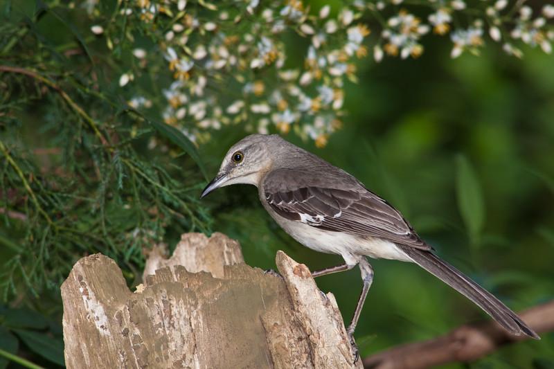 Northern Mockingbird, Mimus polyglottos, at McLeansville, NC.