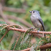 Tufted Titmouse, Baeolophus bicolor, in North Carolina.