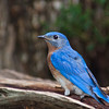 Eastern Bluebird, Sialia sialis, in Mcleansville, NC.
