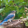 Eastern Bluebird, Sialia sialis, in Mcleansville, NC.