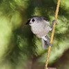 Tufted Titmouse, Baeolophus bicolor, at Mcleansville, NC.