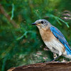 Eastern Bluebird, Sialia sialis, in backyard at McLeansville, NC.