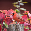 Northern Cardinal, Cardinalis cardinalis, in North Carolina in November.