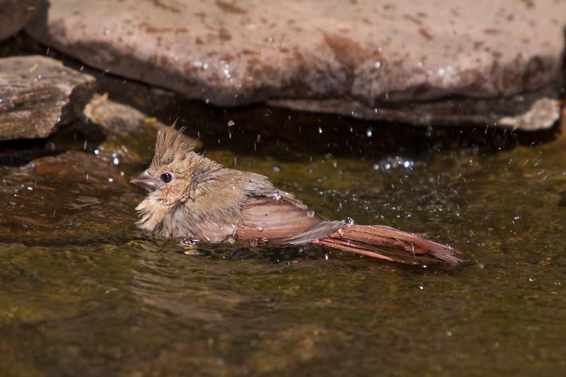 Juvenile Northern Cardinal, Cardinalis cardinalis, taking a bath in backyard pond at McLeansville, NC.