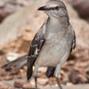 Northern Mockingbird, Mimus polyglottos, at McLeansville, NC.