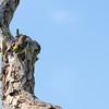 Yellow-rumped Warbler,  Setophaga coronata, in the Eastern Shore of Virginia National Wildlife Refuge.