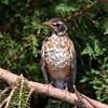 Juvenile American Robin, Turdus migratorius, in backyard at McLeansville, NC.