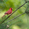 Northern cardinal, Cardinalis cardinalis, in McLeansville, North Carolina, in June.