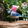 Blue Jay, Cyanocitta cristata, in McLeansville, North Carolina, in June.