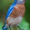 Eastern Bluebird, Sialia sialis, at Mcleansville, NC.