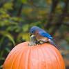 Eastern Bluebird, Sialia sialis, in North Carolina in November.