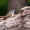 Carolina Wren, Thryothorus ludovicianus, at McLeansville, NC.
