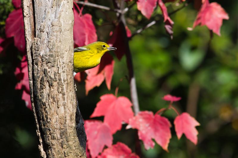 Pine Warbler, Dendroica pinus, in North Carolina in November.