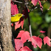 Pine Warbler, Dendroica pinus, in North Carolina in November.