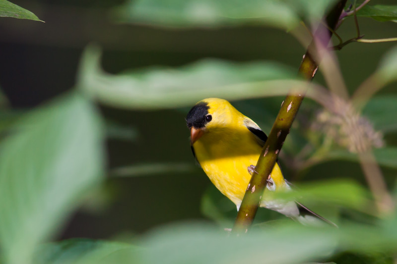 American Goldfinch, Spinus tristis, at McLeansville, NC.