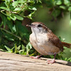 Carolina Wren, Thryothorus ludovicianus, in garden at McLeansville, NC.