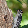 Downy Woodpecker, Picoides pubescens, smallest woodpecker in North America,  at McLeansville, NC.