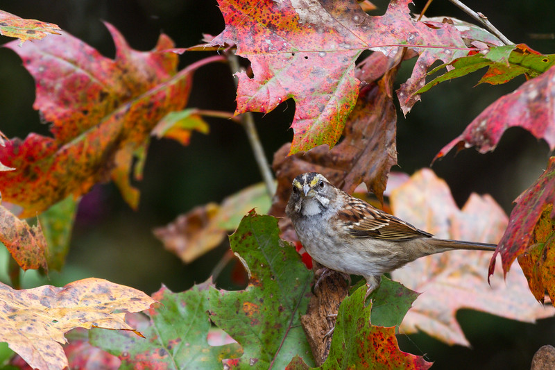 White-throated Sparrow, Zonotrichia albicollis, in North Carolina.