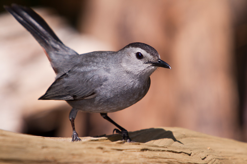 Gray Catbird, Dumetella carolinensis, in backyard at McLeansville, NC.