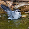 Gray Catbird, Dumetella carolinensis, taking a bath in a pond at McLeansville, NC.