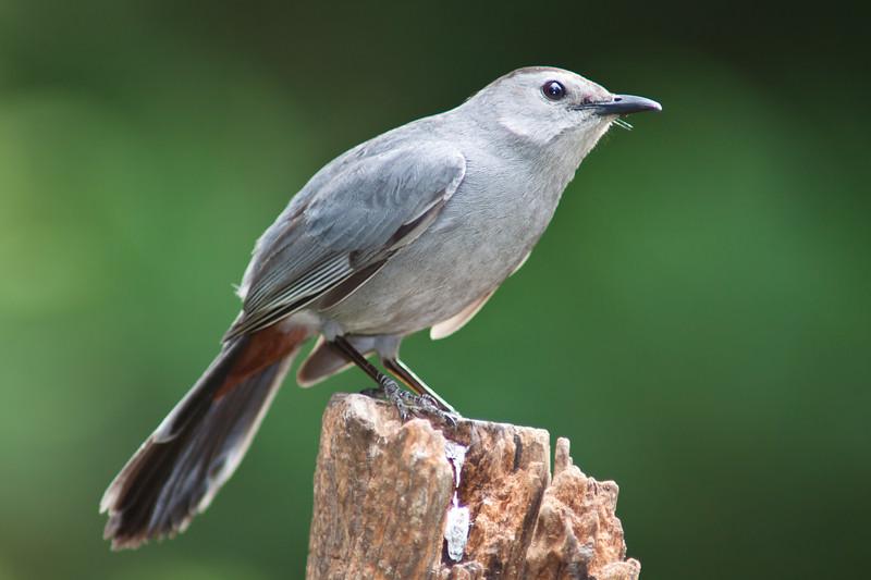 Catbird, Dumetella carolinensis, in Mcleansville, NC.
