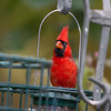 Northern Cardinal, Cardinalis cardinalis, in North Carolina.
