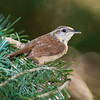 Carolina Wren, Thryothorus ludovicianus, in backyard at McLeansville, NC.