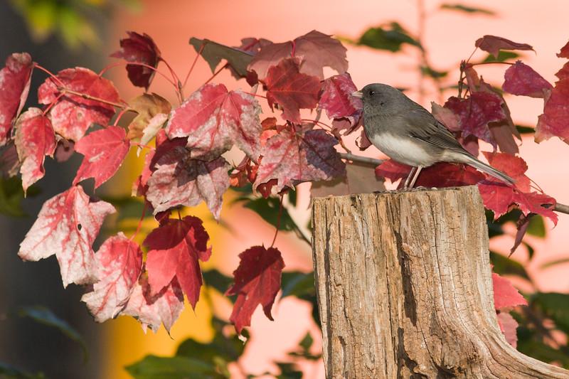 Dark-eyed Junco, Junco hyemalis, in North Carolina in November.