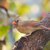 Northern Cardinal, Cardinalis cardinalis, in North Carolina in November.